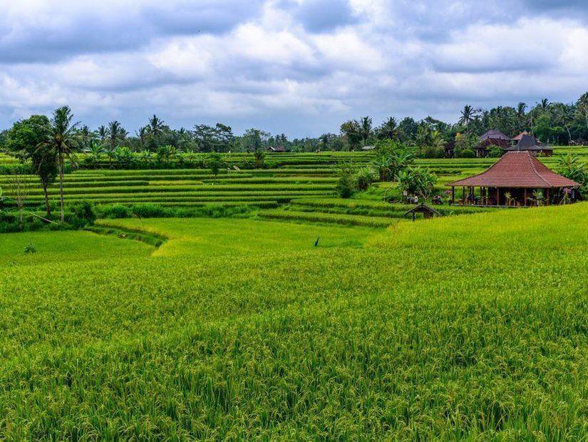 2- Büyüleyici güzellikte pirinç tarlaları